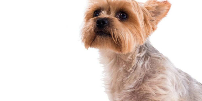 Things To Consider Before Buying A Teacup Yorkie In A Sale